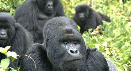 Rwanda gorilla trips