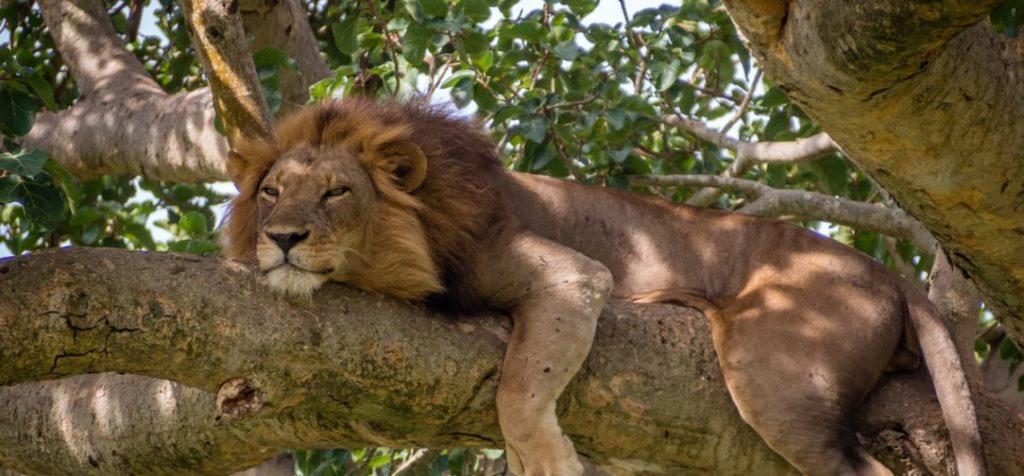 Uganda safaris