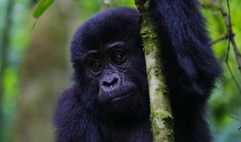 1 Day Bwindi Gorilla Trek