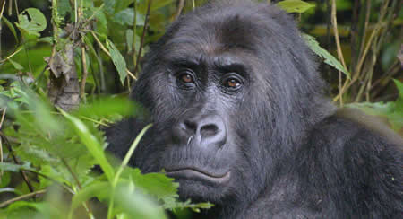 Virunga Gorilla National Park