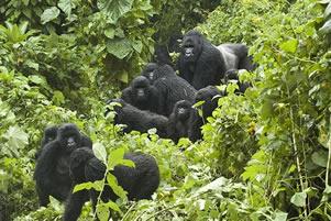 Uganda gorilla families