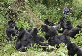 Rwanda gorila families