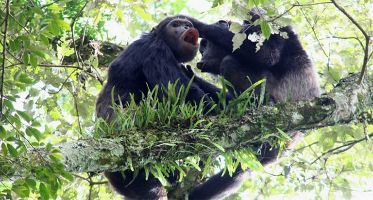 Where to Trek chimpanzees in Uganda