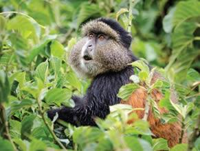 Where to trek golden monkeys in Africa