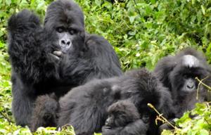 Gorilla groups in Congo