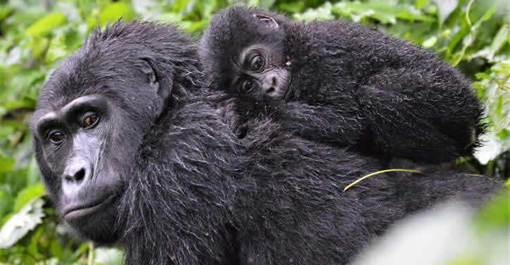 What to Consider before buying a gorilla permit