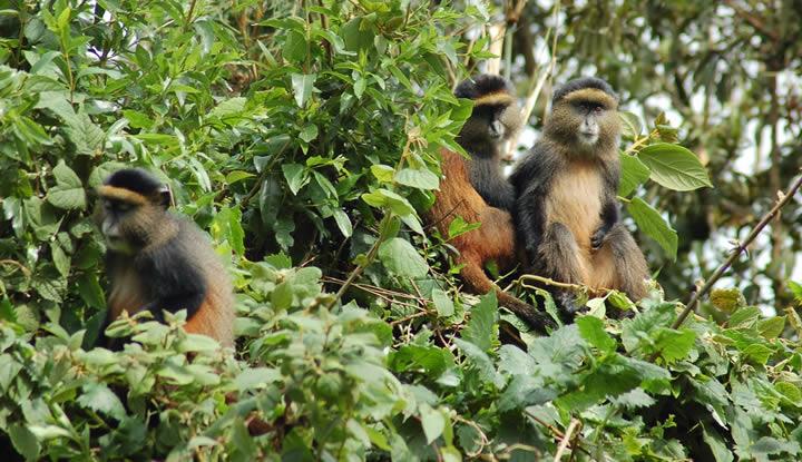 Golden Monkey Safaris in Africa
