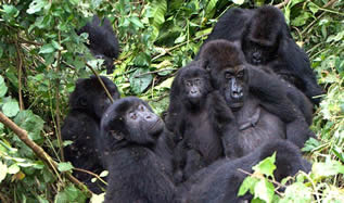 Lifestyle of mountain gorillas