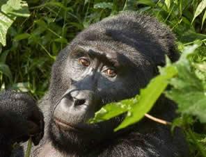 Primate safaris in Rwanda