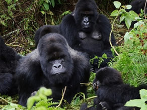 Rwanda Virtual tours to see gorillas