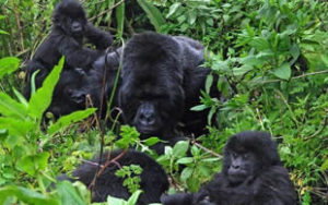 Why trek gorillas in Uganda
