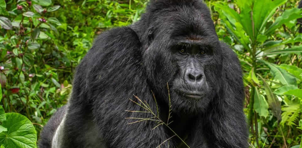 Four Poachers Arrested for Killing Endangered Silverback Gorilla