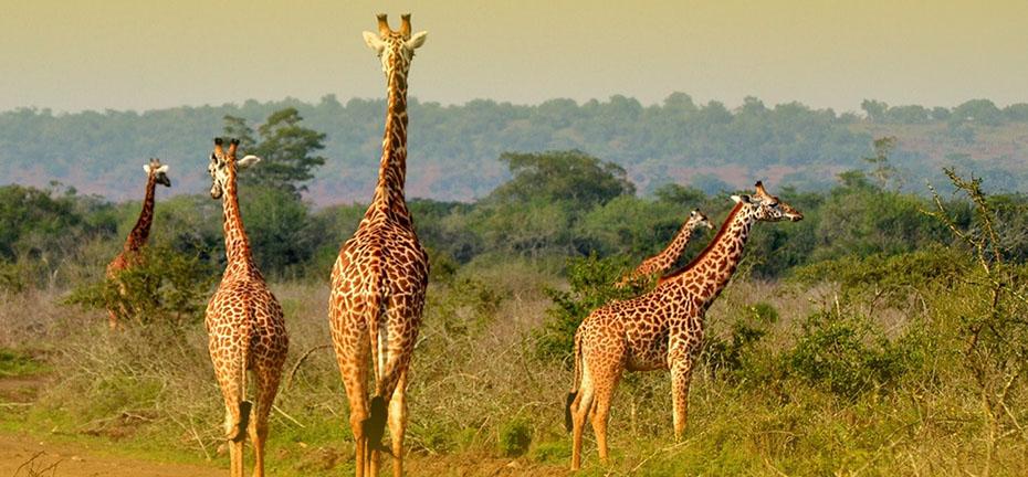 Rwanda Game Safaris