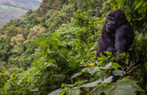 Where to trek gorillas