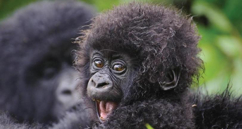 Gorilla trekking in Uganda Vs Rwanda