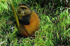 Rwanda golden monkey tours