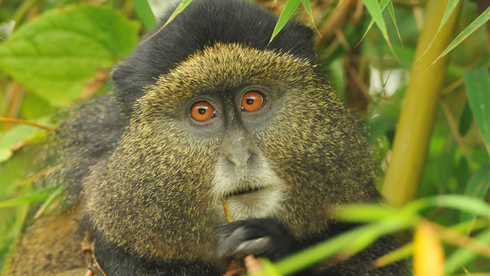 Rwanda Reduces Travelers Visiting Golden Monkeys to 12