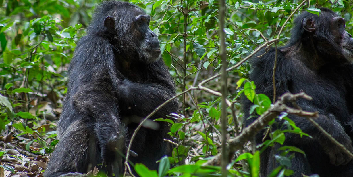 Where to trek chimpanzees in Africa