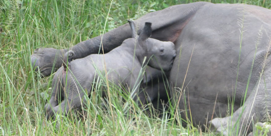 New Baby Rhino At Ziwa Rhino Sanctuary