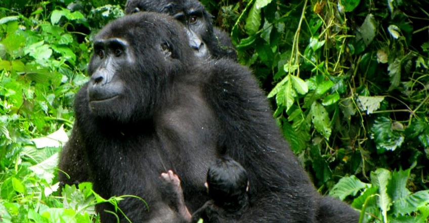 Baby boom in Uganda Gorilla Parks
