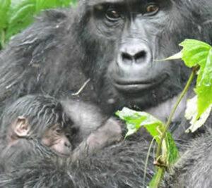 Gorilla baby boom in Uganda