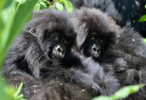 Baby gorilla tours in Bwindi Forest