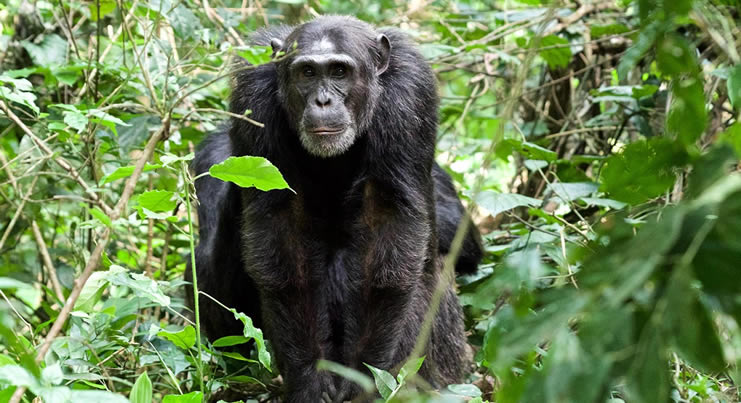 Kibale Forest Re opened for Chimpanzee Trekking