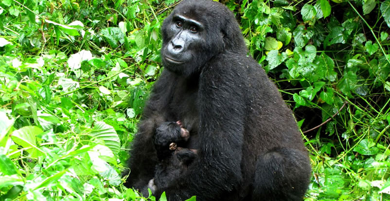 Bwindi Forest Receives 5th Baby within 6 weeks