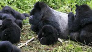 Gorilla trekking in Mgahinga Park