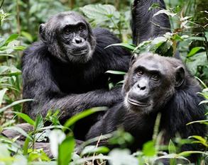 Cahimpanzee trekking in Kibale Forest