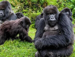 Uganda reopens for gorilla trekking