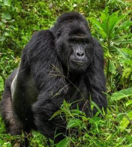 facts about gorilla trekking