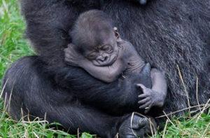 Bay gorilla boom in Uganda