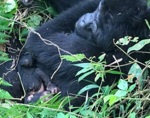 New baby gorilla born in Ruhija
