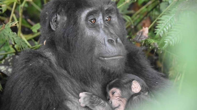 Baby Gorilla Born in Ruhija Sector