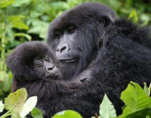 Cost of Rwanda gorilla tours