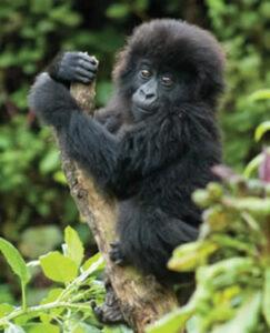 How to be safe in gorilla trekking