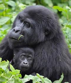 Discounted gorilla safaris in Uganda